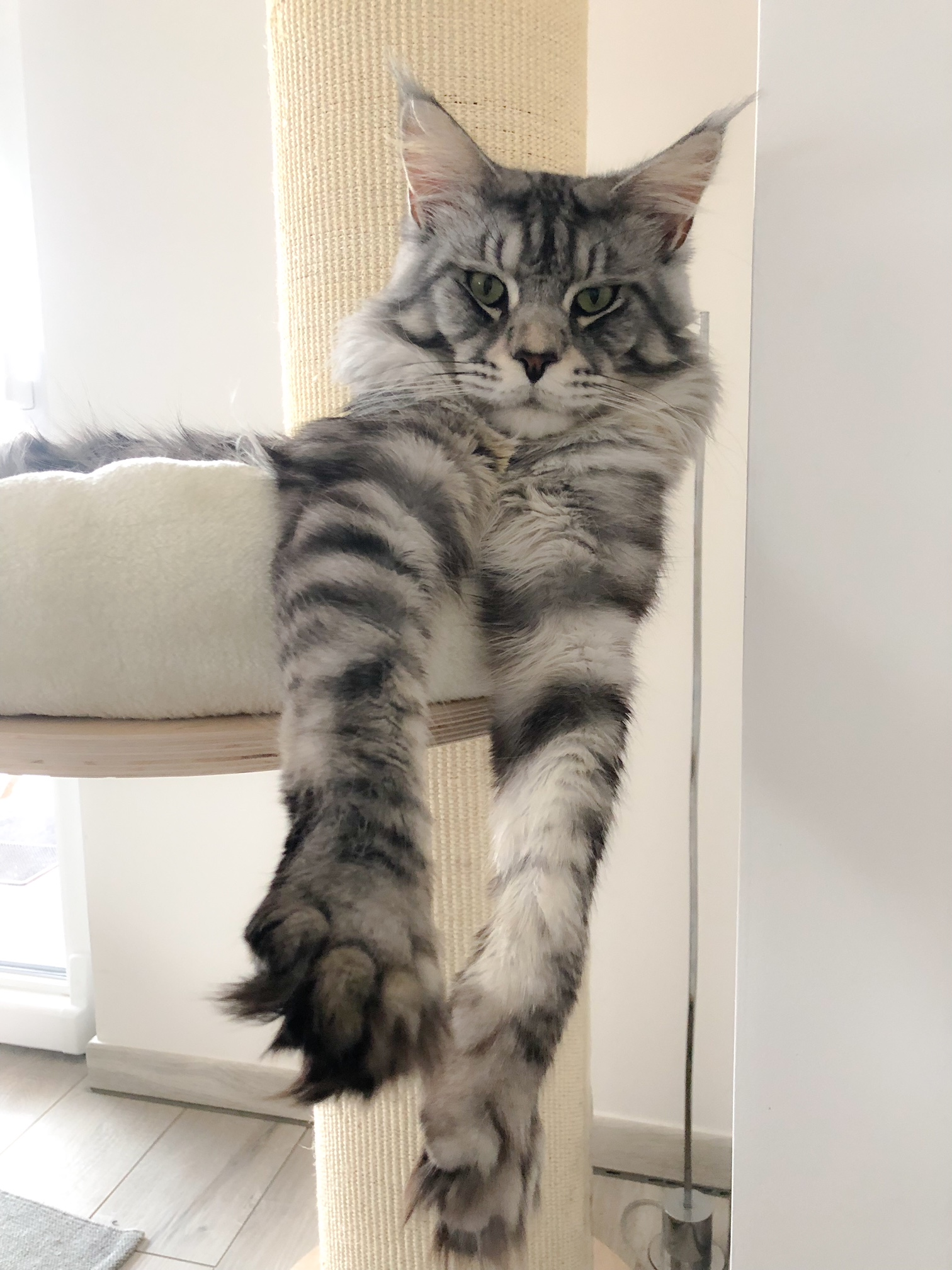 Il Maine Coon Avetacoons